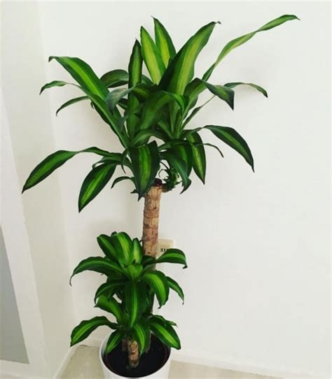 large house plants that look like trees