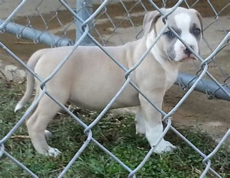 adopt a pitbull puppy pitbull terrier puppies for adoption offer