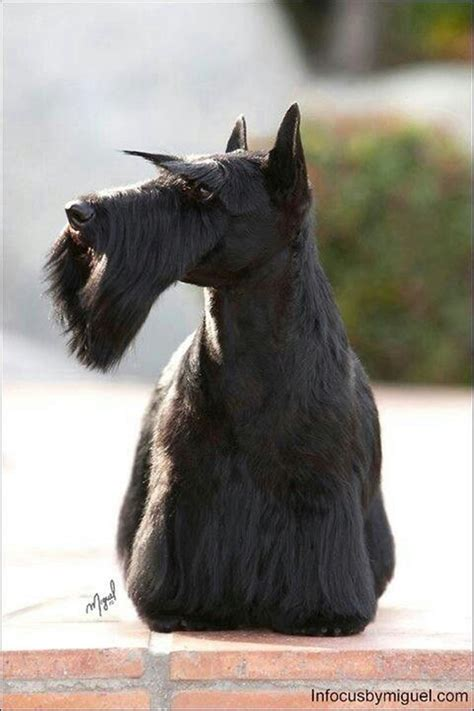 types of scottie grooming styles how to groom scotties yes i groom our scotties and yes i