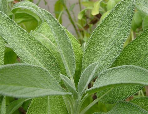Jual Benih Daun Ketumbar bibit bunga benih herb daun daftar harga