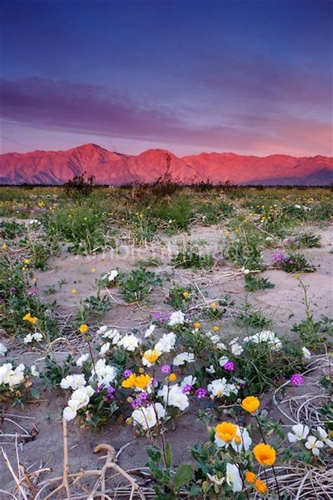 borrego desert flowers spring wildflowers and sunrise alpenglow on santa rosa