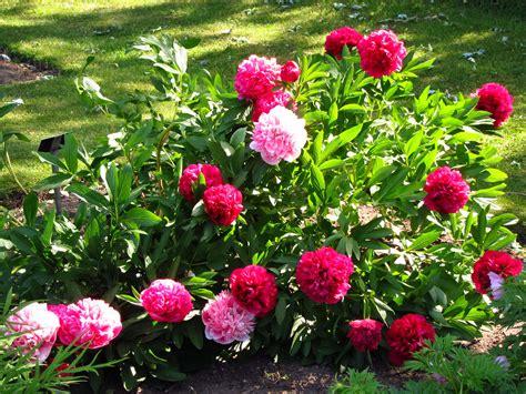beautiful garden of flowers in the garden of beautiful flowers peonies wallpapers and
