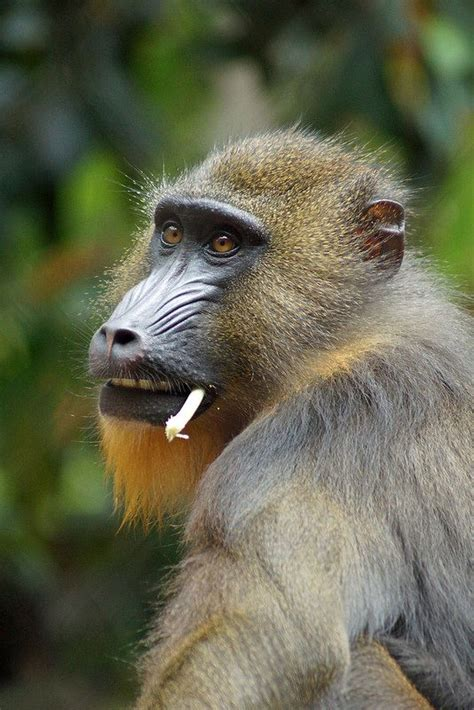 the male mandrill is the largest living monkey primates