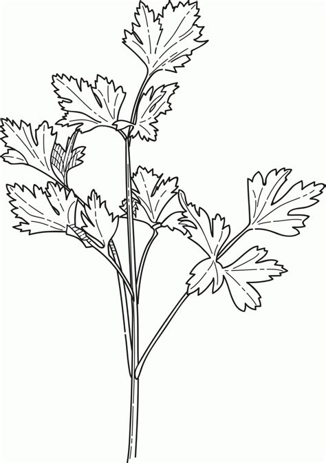 Herb Garden Coloring Pages | free thyme herb coloring pages