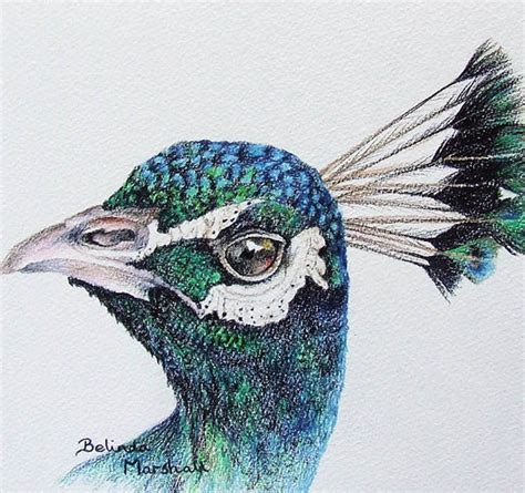 drawings with color peacock drawing original colour pencil artwork