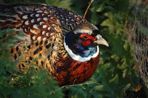 how to a for pheasant ring necked pheasant audubon field guide