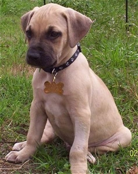 cur puppy black cur breed pictures 2