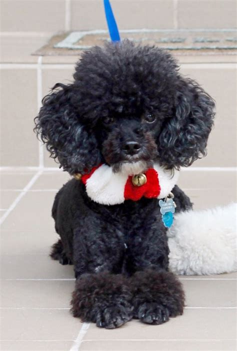miniature french poodle hairstyles 29 best images about sig s haircuts on pinterest poodles