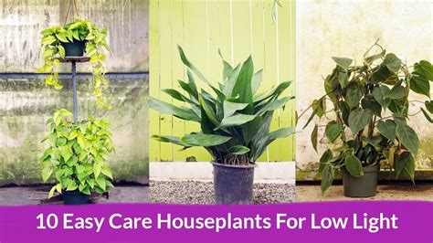 houseplants for low light conditions houseplants for low light conditions 10 easy care