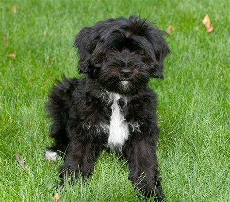 tibetan terrier puppy black boxer breeders images