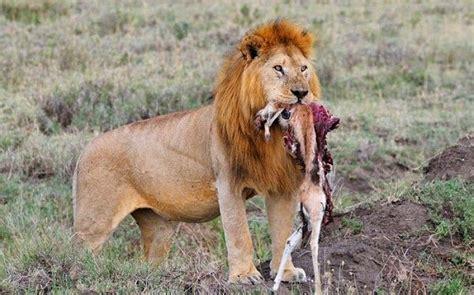 imagenes de animales herbivoros y carnivoros animales carn 237 voros ejemplos caracter 237 sticas y