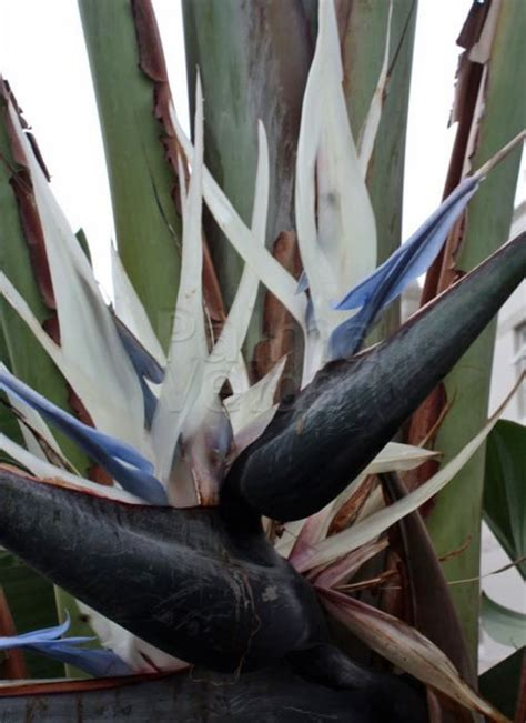 bloem vogelbek strelitzia nicolai witte paradijsvogelbloem palma