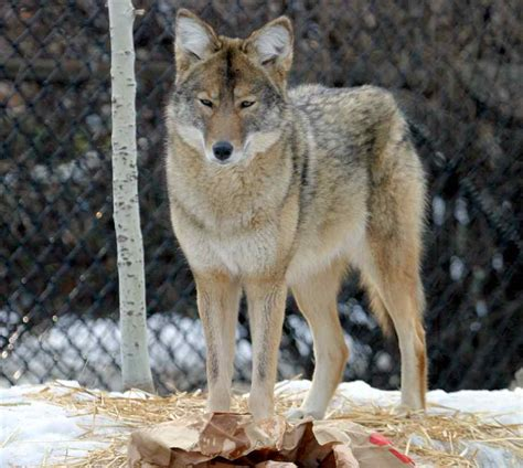 The Coyote | All Wildlife Photographs