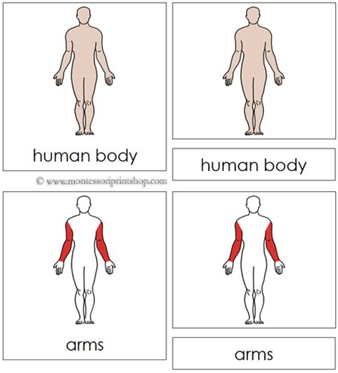 free printable montessori nomenclature cards human body nomenclature cards red 17 parts of the
