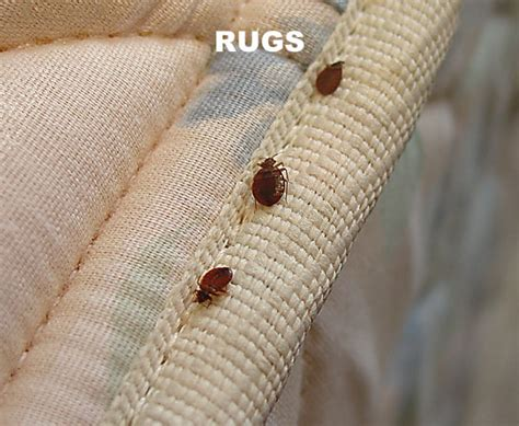 kill fleas in house flea infestation in house www pixshark com images galleries with a bite