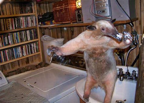 pet anteater 25 pics