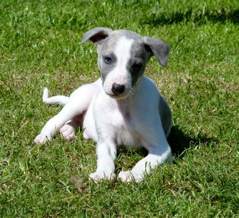 whippet for sale whippet pups for sale bristol bristol pets4homes