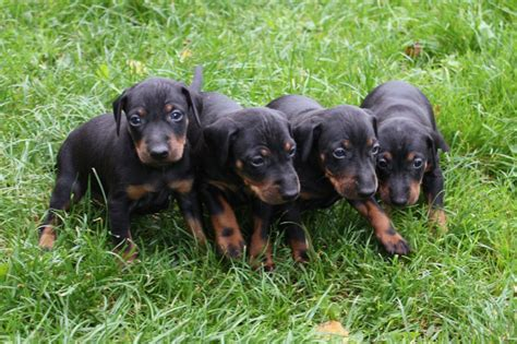 manchester terrier puppies manchester terrier puppies rescue pictures information temperament