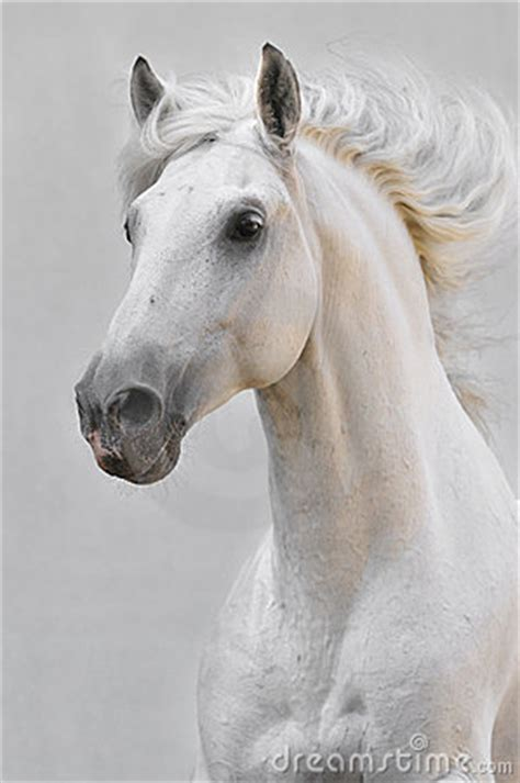 white horse stallion  gray background stock image