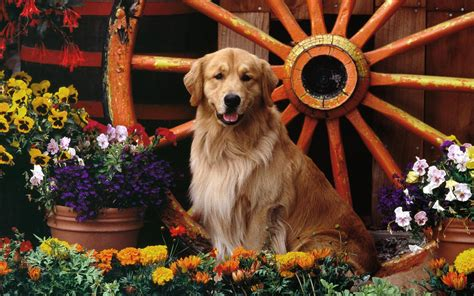 golden retriever garden golden retriever in the flower garden wallpaper 13527