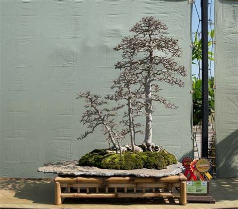 pin oleh sam asli  beautiful bonsai  indonesia