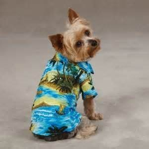 aloha yorkies 90 best images about yorkies on swim surfers and yorkie