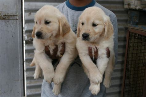 golden retriever puppies for sale in bangalore price golden retriever puppies for sale spice danes 1 3639 dogs for sale price of