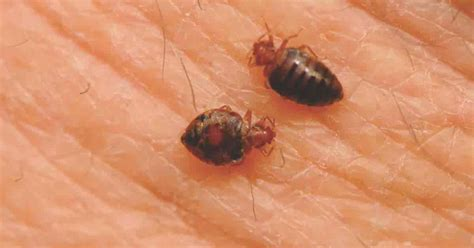 bed bug skin naturally get rid of bed bugs how to kill a bedbug