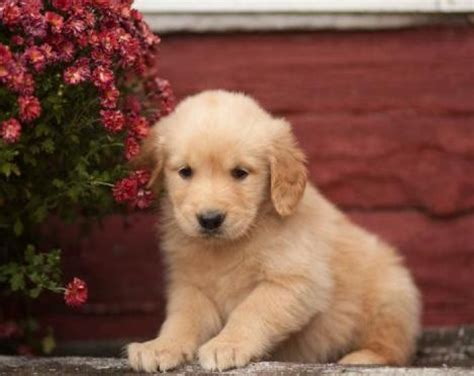 golden retriever puppies michigan brady golden retriever puppy for sale handmade michigan