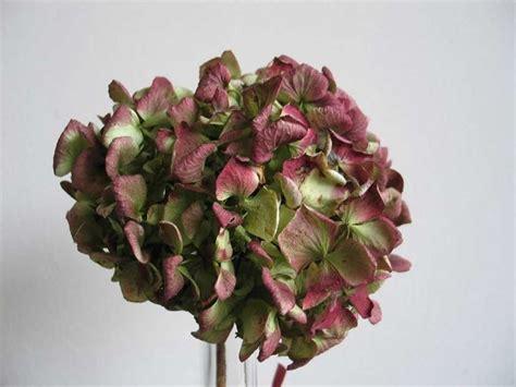 fiori ortensia fiori secchi ortensie fiori secchi ortensie essiccate