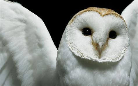 fond ecran hibou chouette blanche wallpaper owl white hd