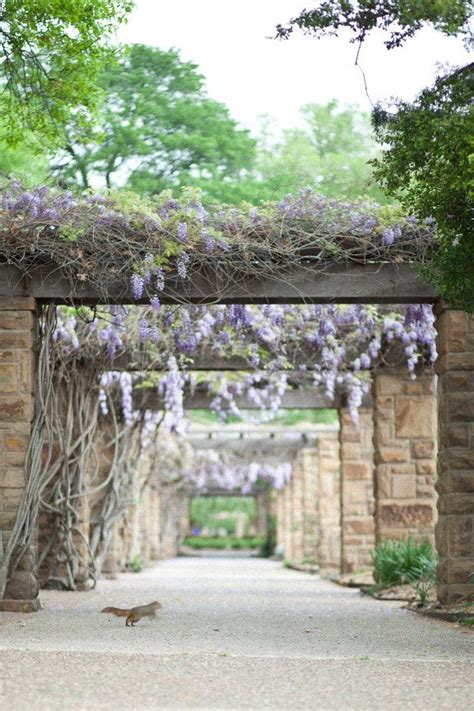Botanic Garden Fort Worth Whisteria At Fort Worth Botanic Gardens Nature