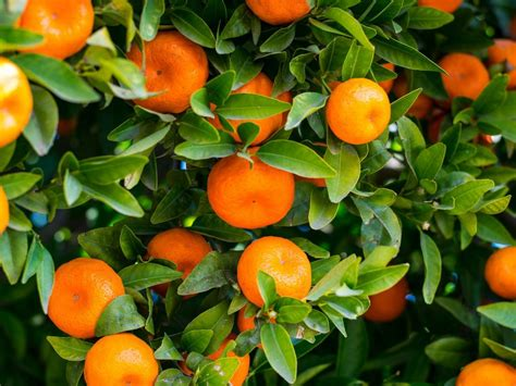 limone in vaso cure coltivazione agrumi in vaso