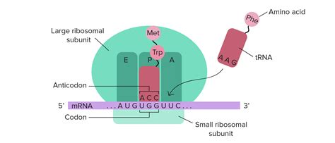 if a site has a large number of junk pages in the index is the translation diagram ribosome www pixshark com images