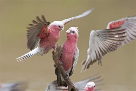 galah for sale parrots breed information omlet