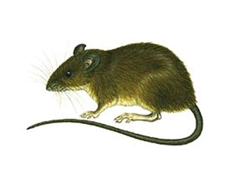 veterinary medicine rodentia