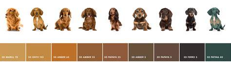 dachshund colors dachshund colours caparol