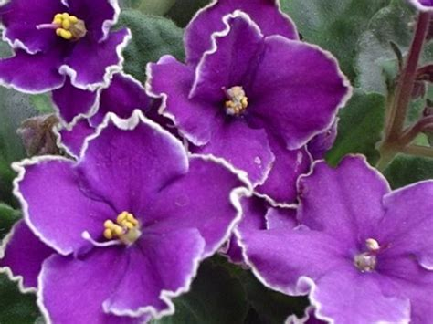 imagenes rosas violetas violetas mi siglo