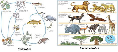 cadena alimenticia acuatica y terrestre wikipedia ciencias 1 red y pir 225 mide tr 243 fica