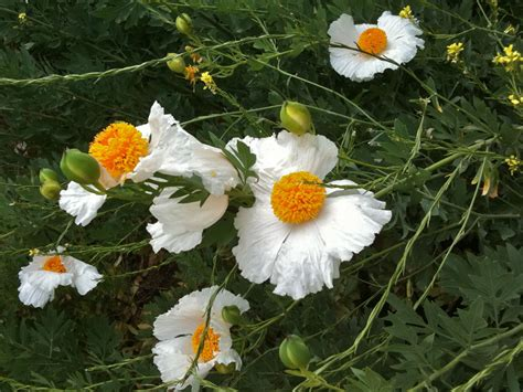 matilija poppies aka fried egg flower or romneya coulteri echoes
