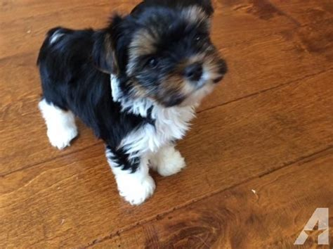 purebred yorkie cost yorkie puppy parti ckc ready now for sale in foley alabama