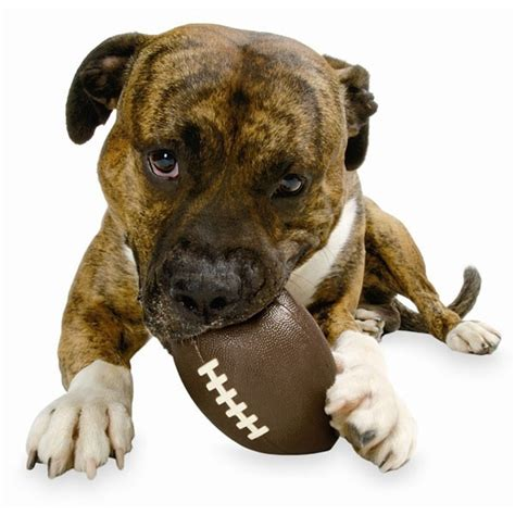 puppy football planet orbee tuff football chew at dogtuff