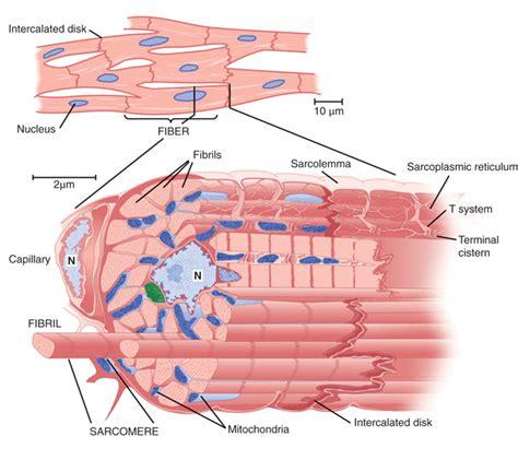 cardiac cell diagram june 2011 medicine hack