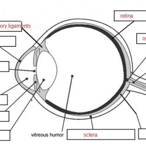Cow Eye Dissection Worksheet by Unlabeled Eye Diagram Human Anatomy Human Eye