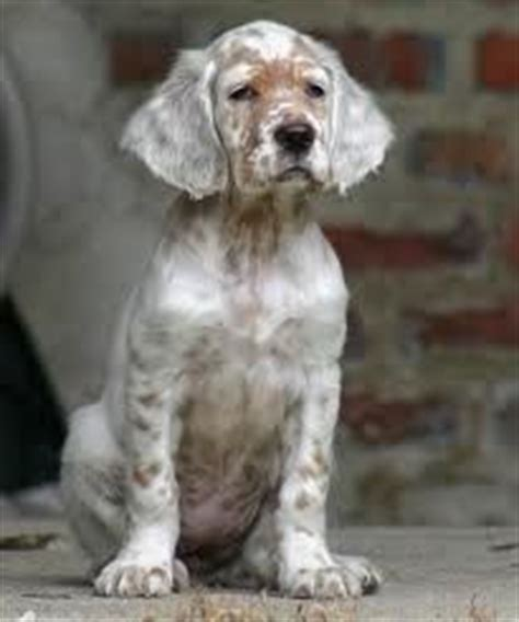 english setter dogs for sale in california 1000 images about sporty dogs on pinterest english