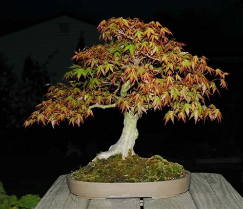 bonsai with japanese maples laceleaf japanese maple bonsai