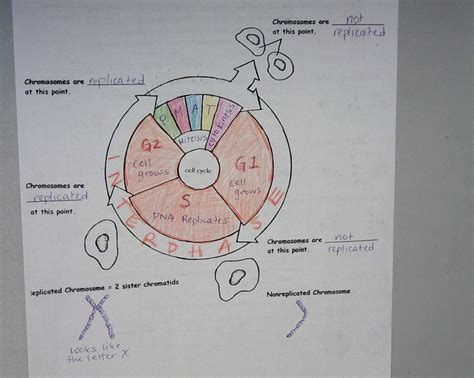 The Cell Cycle Coloring Worksheet Answers by 172 Best Images About Genetics On Activities