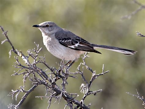 img 9427 northern mockingbird jpg photo dick dionne