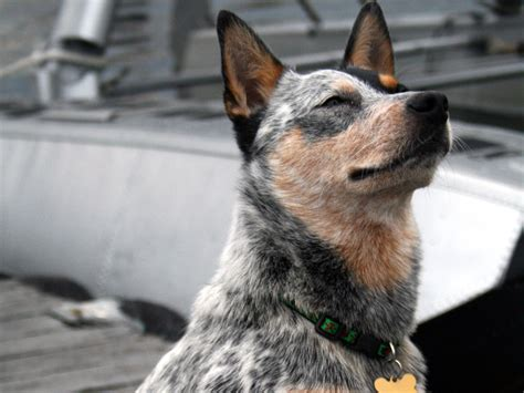 australian cattle dog wallpapers high quality
