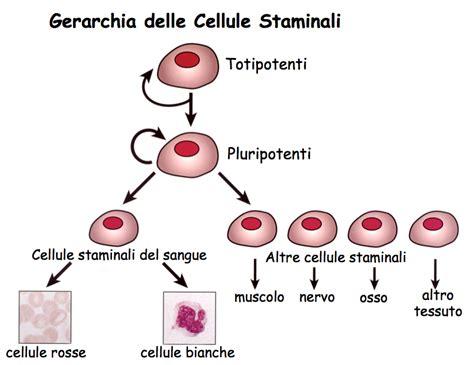 cellule staminali domande frequenti sulle cellule staminali cosa sono a